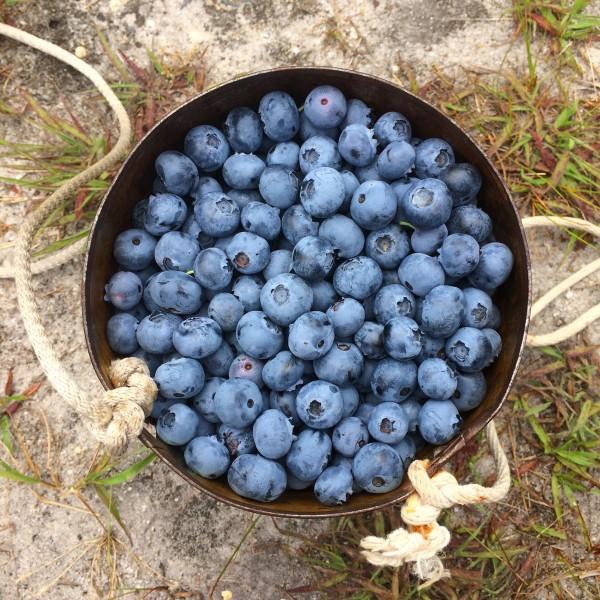 Blueberry bucket