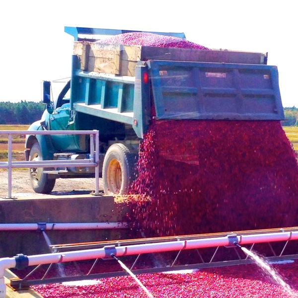 Dump! The cranberries head to the processing facility
